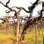 vigna di viti secolari a taurasi