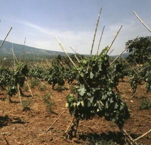 Le Vigne a Capanno